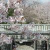 加治川治水記念公園と加治川河川敷(新発田市)の桜 2021 (4/7)