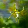 黄色い妖精:キバナカタクリ