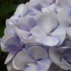 【東京さんぽ】雨の日のお花 文京あじさいまつり@白山神社と小石川後楽園の花菖蒲