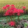 田舎で見つけた秋の花