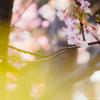 2月にはもう桜が見られる!鎌倉・本覚寺で河津桜と梅を撮影する