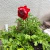 【兵庫】アネモネ(凛々花)の苗を購入!
