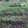 【オルかな農園報告㉕~ようやく植え付けピークが!夏に向けて色々植えました~】