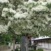 なんじゃもんじゃの木(沙沙貴神社)