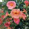 前回のエントリー1万pv超え御礼と実家の庭花の名前について