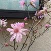 ヒメコブシの花