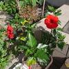 今日もハイビスカスの花