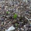 芽が出てきた