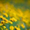初夏の黄色:Ai-S NIKKOR ED 180mm f/2.8