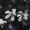「マグノリアの木」とはどんな木か
