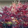 「マンサク(満作)」に花びらが…。