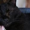 でかい黒猫