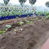 野菜が大きく育っています! トワリングのリハーサル