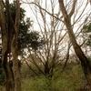 オオムラサキの生息域での越冬幼虫調査