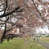 ブルブル天気で人出なく 観桜会初日 旧東大農場