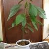 【アボカド栽培in北海道】北海道のアボカド栽培。冬になったら注意すること。【80cm】