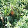 沖縄のビーチ界隈に生息する「アダン」という名のパイナップルにそっくりの植物は何?