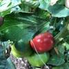 野菜づくり二年生 21 〜初トマト収穫!