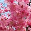 山下公園周辺の桜の状況!カップヌードルミュージアム周辺のサクラスポットに出没!