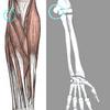 肘の障害②~ゴルフ肘(上腕骨内側上顆炎)~