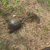 亀の産卵に遭遇しました❗️