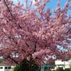 梅は咲いたが、桜はまだかいな?