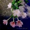 夏の夜に、夜桜風なヴァーベナで涼む