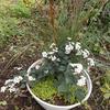 白い花の寄せ植え