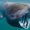 「人食い」なんかしない!:「日なたぼっこザメ (basking sharks)」  (BBC-News, August 6, 2019)