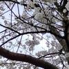 ★ 桜が綺麗でした ★