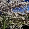 南足柄市 体育館近く 洞川の早咲き桜が満開です
