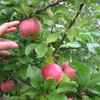 Apple Picking (MA)