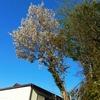 たった一本の山桜