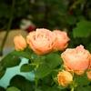 ピンチについて 4月からのバラ栽培