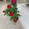 アジサイ、バラの挿し木