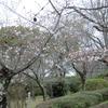 熊本の桜はまだ開花宣言が出ないけど、結構咲いています。