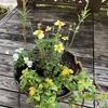 ウインターコスモスで丸いハンギングの寄せ植えを作りました。