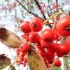 ナナカマドの実は、冬になっても腐らず、小鳥の餌となります。凄いですね~