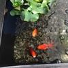 初めての屋外飼育金魚の冬ごもり準備。しょっぱなから失敗。