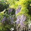 甘き香に見上ぐる垣に藤の花