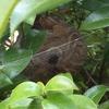 浜松市で木の中にできたスズメバチの巣を駆除してきました
