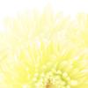 一斉「菊の花のワーク」ご案内 ※追記