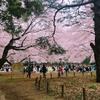 東京の世田谷付近で花見をする人必見!駒場公園が花見に最高だった