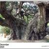 山の自然学カレンダー2020 12月・宝生院のシンパク