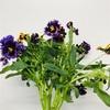 パンジーの切り花のお勧めポイントはこれだ!