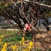 咲き始めた河津桜🌸