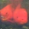金魚の「越冬」~屋外飼育~