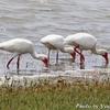 湖畔の White Ibis (ホワイト イビス)