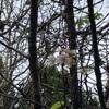 ちかちゃんの桜