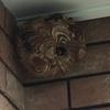 袋井市で軒下にできた大きいスズメバチの巣を駆除してきました